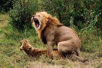 leone-domesticazione1